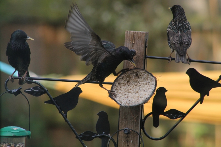 photo 4_ starlings .JPG