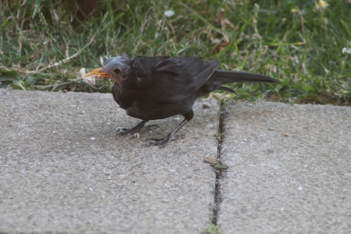 photo 5 balding blackbird.JPG