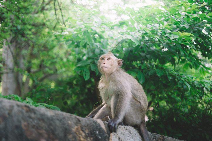 animal-monkey-primate-214661.jpg