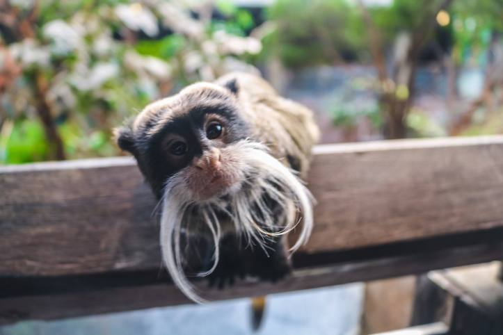 bearded emperor tamarin 1