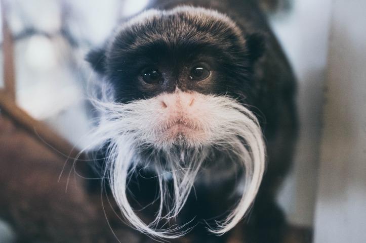 bearded emperor tamarin 2