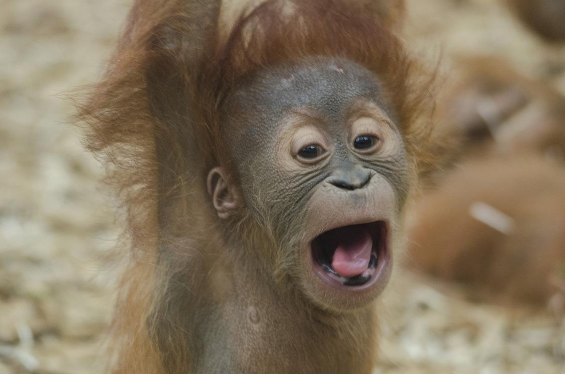 baby-orangutan-1056338_1920.jpg