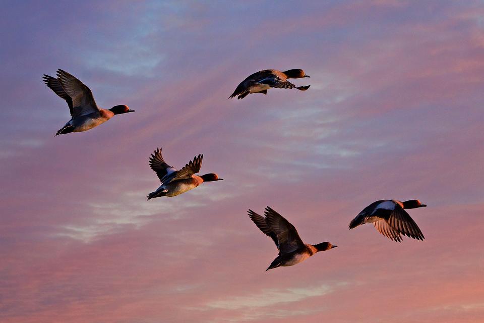 Canard Siffleur, Canard, Oiseaux D'Eau, Des Animaux